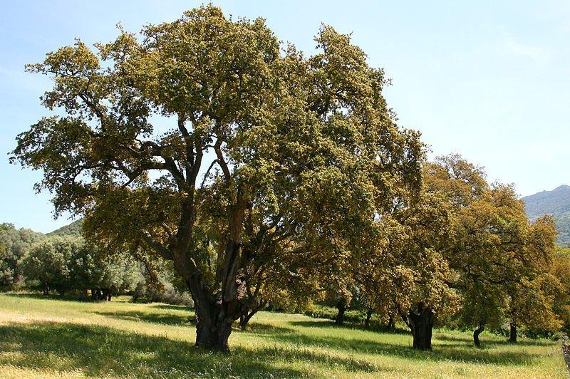 Árbol Alcornoque