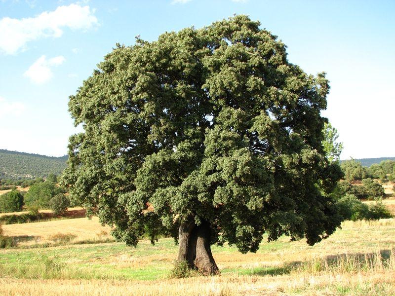 Árbol Encina