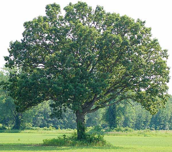 Quercus alba - Roble Blanco Americano