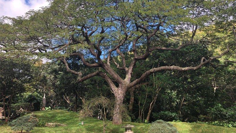 Quercus Mongólica Crispula- Roble Japonés o Mizunara